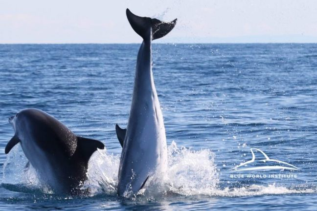 Blue World Institute - Adopt A Dolphin