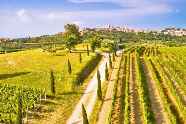 Vineyards in Istria