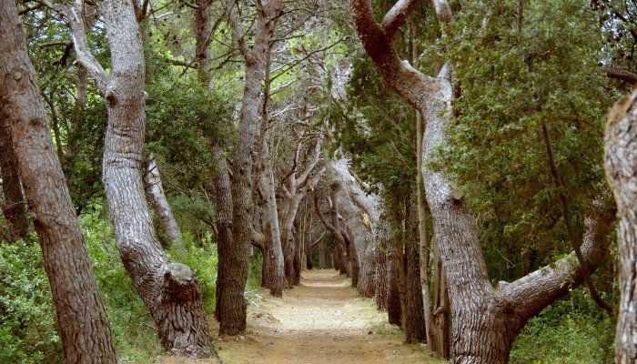 Forest on Dugi Otok