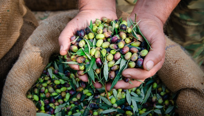 Olives picked by hand, Istria